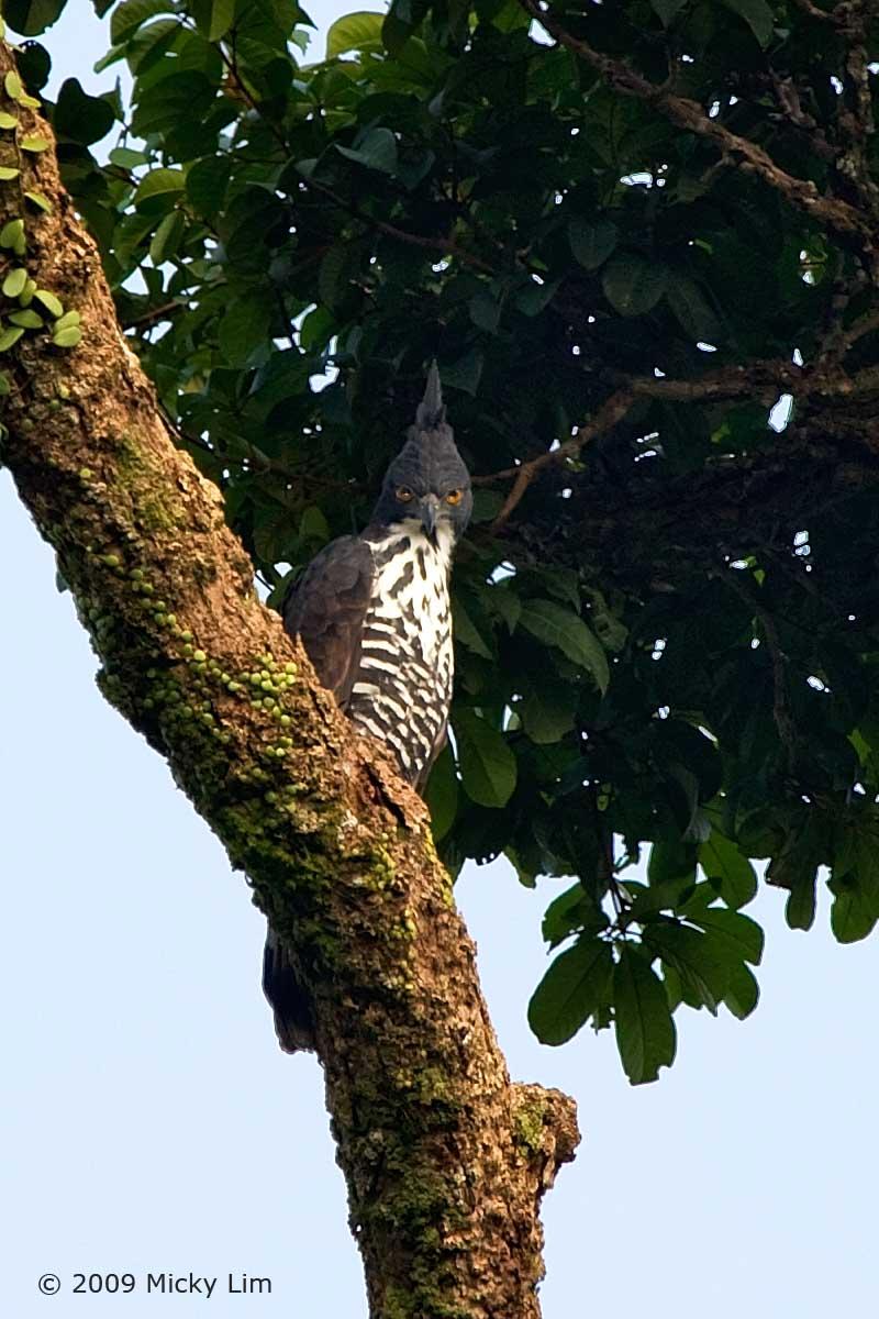 Falconiformes. Família  Acciptridae - Subfamília Buteonidade- Gaviões de penacho. genêro SPIZAETUS 3684064962_56f777dbb8_o