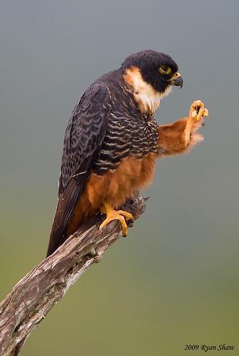 Falconiformes. sub Falconidae - sub fam Falconinae - gênero Falco - Página 2 4217858602_a634607e4f