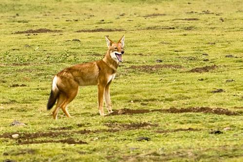 Carnívoros Família Canidae. Canis simensis- Lobo da Etiópia 4220135435_c192dd9eb4