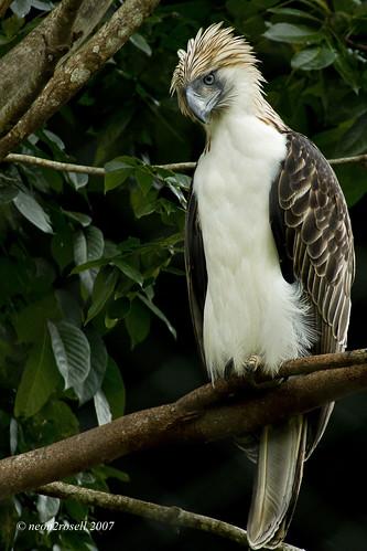 Falconiformes. Família  Acciptridae - Subfamília Buteonidade-Águias coroadas - gênero Pitecophaga jefferyi . Águia das Filipinas. 4038752243_a3ca9de0cc