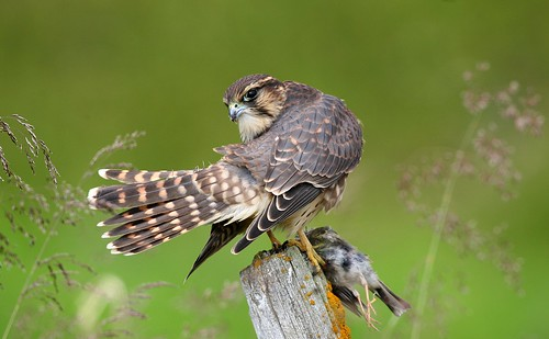 Falconiformes. sub Falconidae - sub fam Falconinae - gênero Falco 3778029686_52f37eb4e7