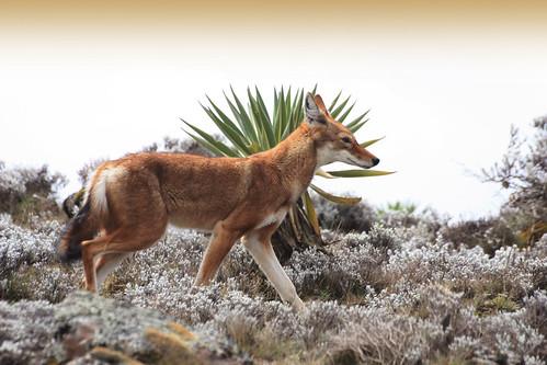 Carnívoros Família Canidae. Canis simensis- Lobo da Etiópia 4039339962_c4d9d45e89