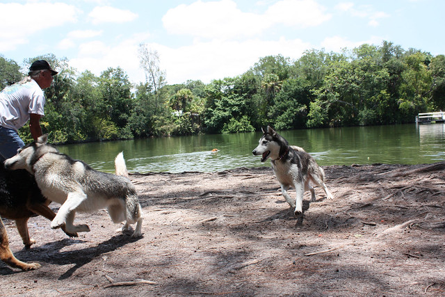 Florida Huskies and the NEW addition 9/5/13 - Page 3 5833488771_3647daa255_z
