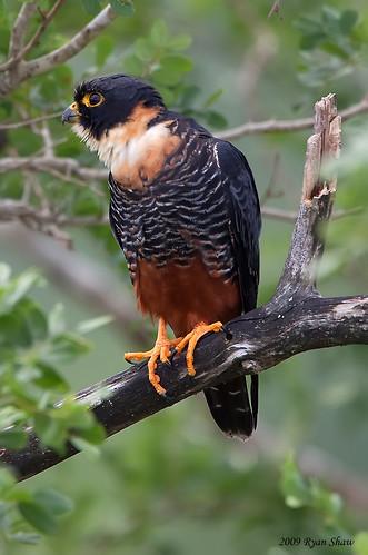 Falconiformes. sub Falconidae - sub fam Falconinae - gênero Falco - Página 2 4346981547_c150bf5aab