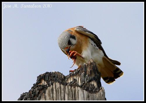 Falconiformes. sub Falconidae - sub fam Falconinae - gênero Falco - Página 3 4401856379_1be75de343