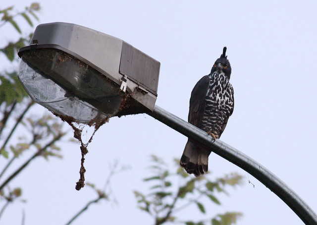 Falconiformes. Família  Acciptridae - Subfamília Buteonidade- Gaviões de penacho. genêro SPIZAETUS 2245552769_8e2e48804a_z