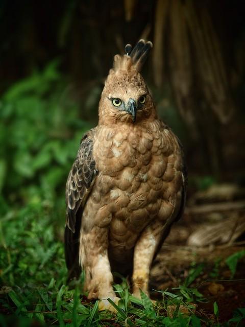 Falconiformes. Família  Acciptridae - Subfamília Buteonidade- Gaviões de penacho. genêro SPIZAETUS 5842143510_0caf0d01c8_z