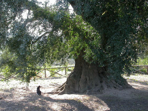 Un chat sous le plus grand olivier du monde