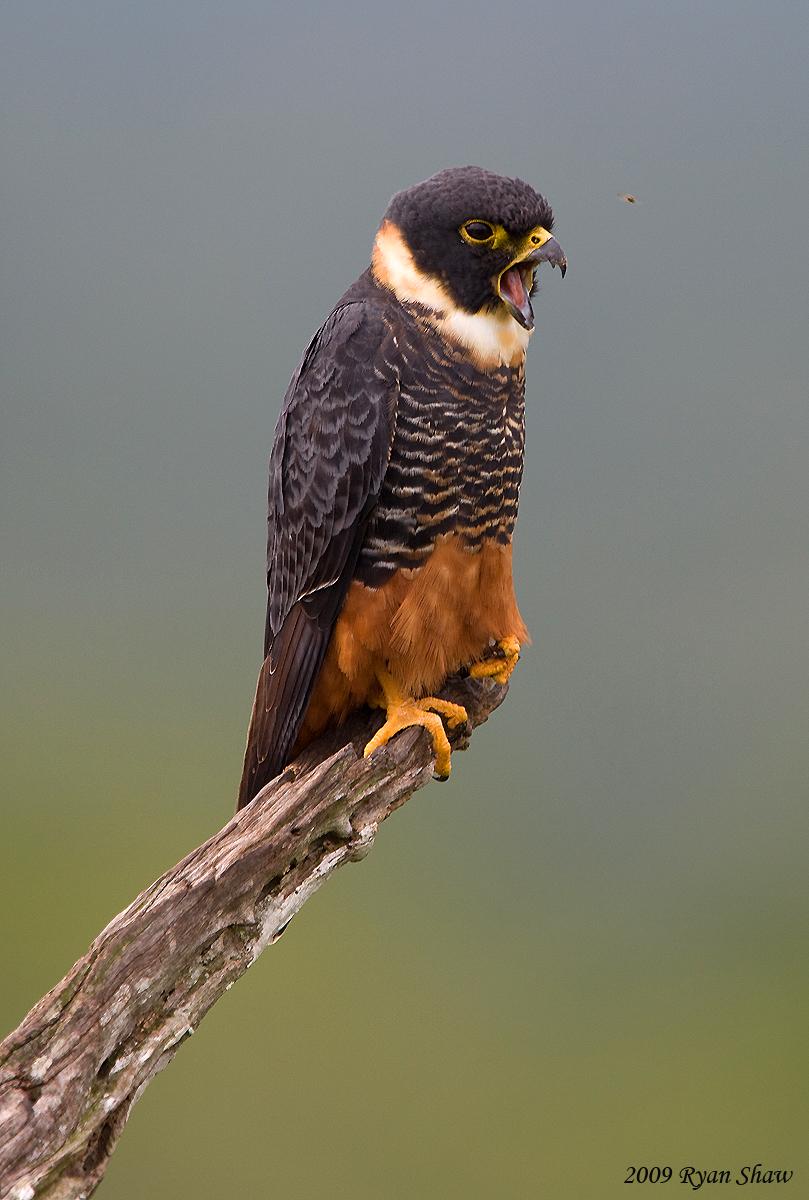 Falconiformes. sub Falconidae - sub fam Falconinae - gênero Falco - Página 2 4236607313_5b0117259b_o
