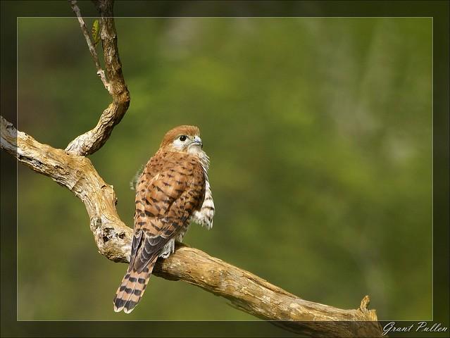 Falconiformes. sub Falconidae - sub fam Falconinae - gênero Falco - Página 2 5706206857_be28e13e31_z