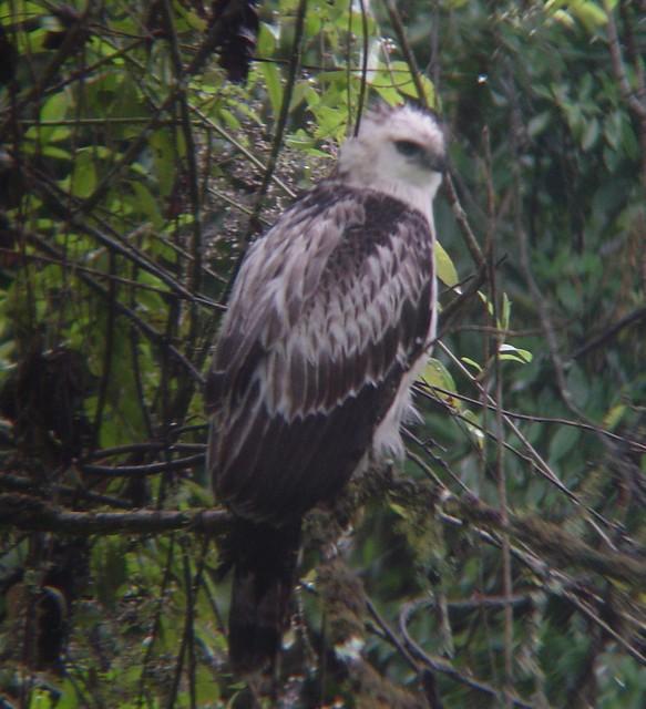 Falconiformes. Família  Acciptridae - Subfamília Buteonidade- Gaviões de penacho. genêro SPIZAETUS 4531527292_c8515f4fe2_z