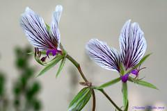 Pelargonium praemorsum ssp spéciosum [devinette] 4505873702_7edf0c07aa_m