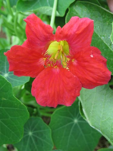 Tropaeolum majus 'Cherry Rose'