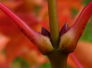 Acer campbellii ssp sinense 10882713693_19a5e8730c_n