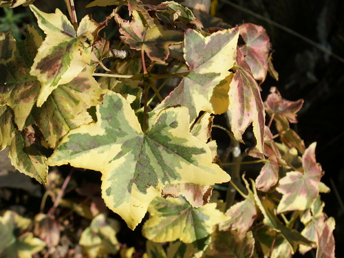 Liquidambar styraciflua 'Golden Treasure'