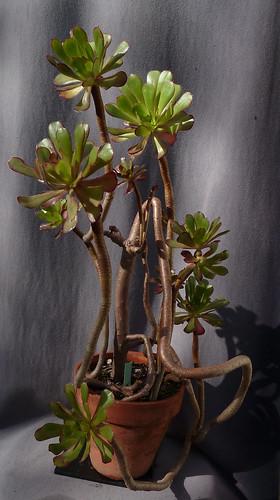 Aeonium arboreum 'Atropurpureum' - Page 4 10739590793_f1df760970