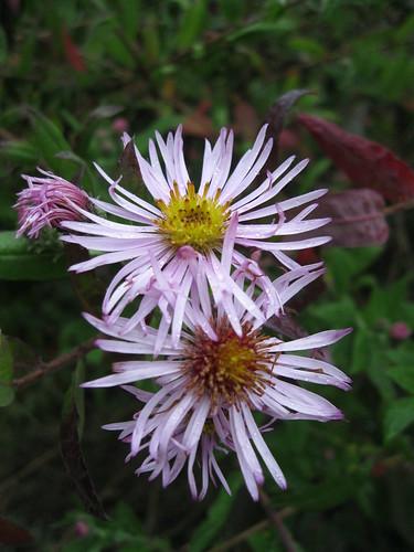 Ampelaster carolianianus