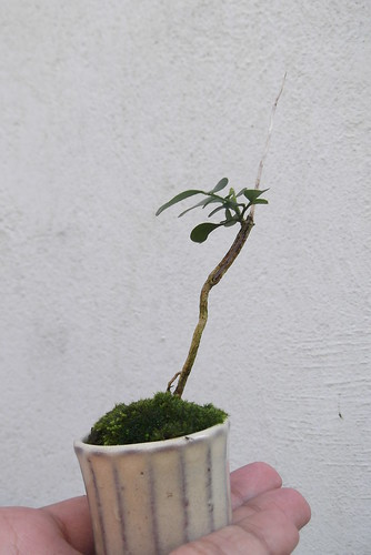 Growing a young Jacaranda 9056502454_372c66faba