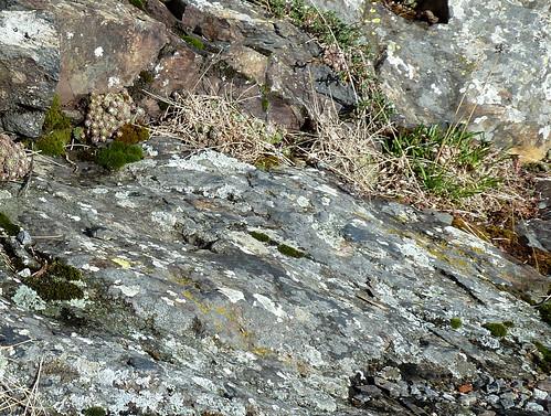 Allium lusitanicum - ail des collines, ail trompeur 9757566805_0796fd734c