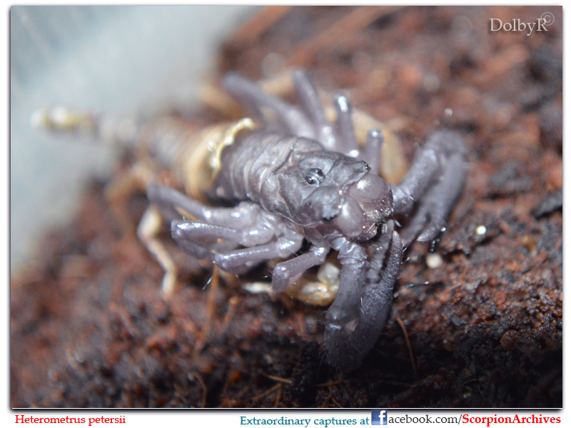 Who molted today? (Scorpion molting pics) - Page 3 9445811986_cd02f99317_c