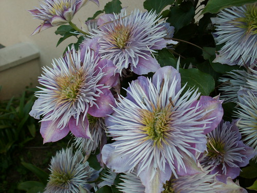 Clematis 'Chrystal Fountain'