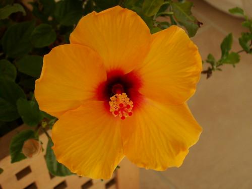 Hisbiscus rosa-sinensis