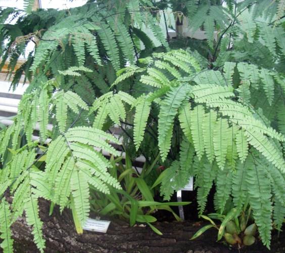 Adiantum polyphyllum 13027673683_572763b578_o