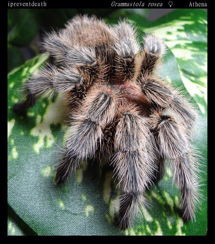Your Tarantula and Spider pix.... - Page 3 8845571148_e409bd2eed