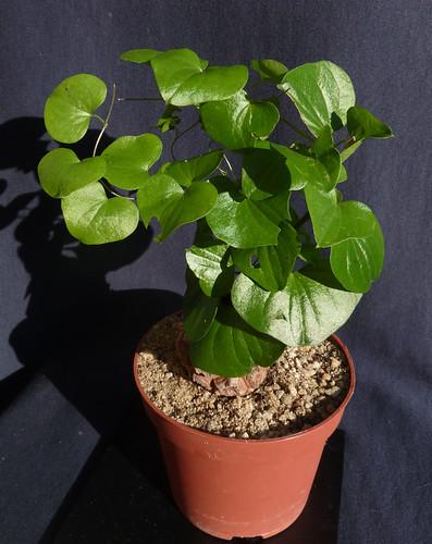 Dioscorea elephantipes (= Testudinaria elephantipes) - Page 4 10400467456_966b98016e