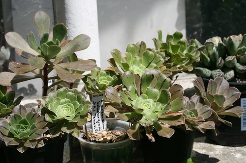 My Aeonium collection 2699499120_63214d9609