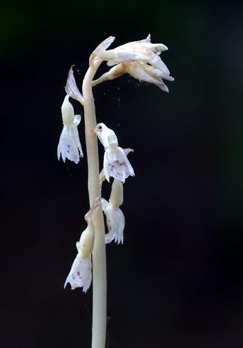 Checklist des orchidées terrestres d'Australie - Page 2 5870208412_221072fc5e