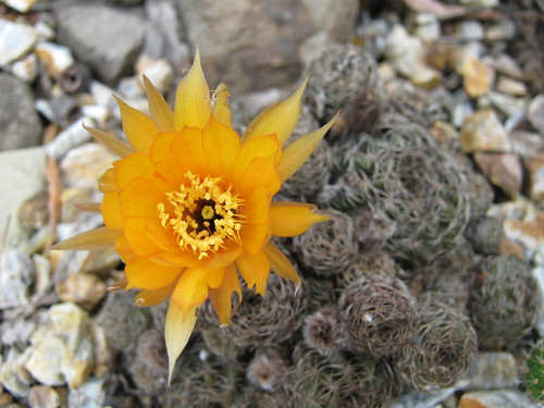 spring cacti flowers 2868913713_cce940d1ea