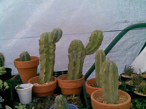 Show us  your cacti - Page 2 2562969895_96cae931b2