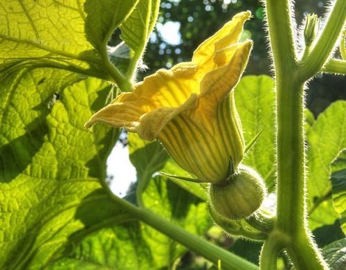 Fleur de courge ,citrouille etc... 3081752273_87ee10c884