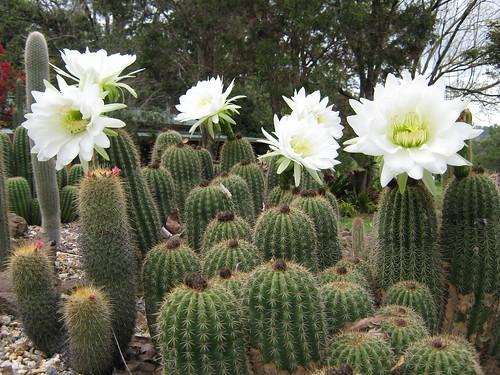spring cacti flowers 2868902523_e7e5fcc6ee