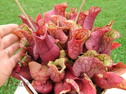 S. purpurea subp.venosa (SPV03 Cédric) 3083373700_8e975f0252