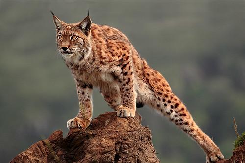Lince ibérico e o felino mais ameaçado do mundo 2757827468_ebba36396e