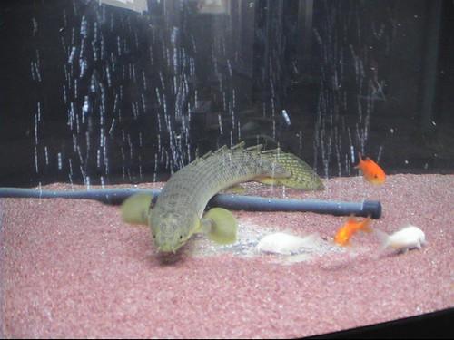 السمكة النـآدرة ..Polypterus Fish  2431132058_c9146e1d30