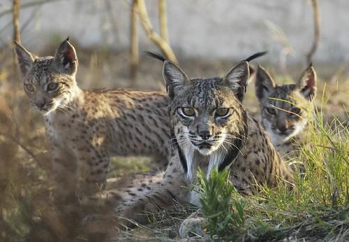 Lince ibérico e o felino mais ameaçado do mundo 2757858900_311a0fcef8