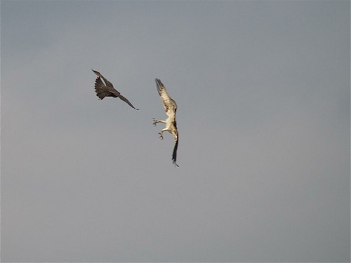 Falconiformes. sub Falconidae - sub fam Falconinae - gênero Falco - Página 2 2992222899_711dd33845