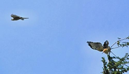 Falconiformes. sub Falconidae - sub fam Falconinae - gênero Falco - Página 2 2663375872_e8c789c369