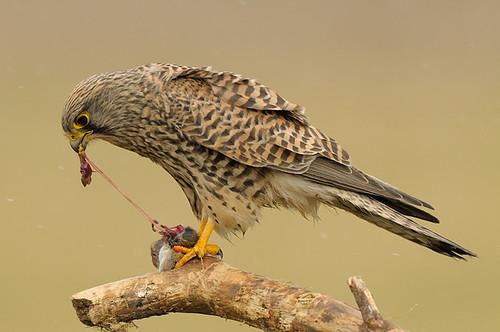 Falconiformes. sub Falconidae - sub fam Falconinae - gênero Falco - Página 3 3288630470_6bc9ae91f0