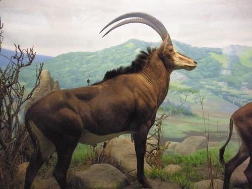 Mojo Iberian Lynx and Giant Sable Antelope 3120673577_38ab2c21f0