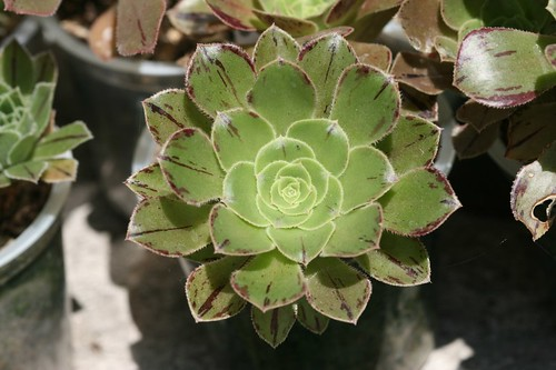 My Aeonium collection 2698689229_967c5e9f09
