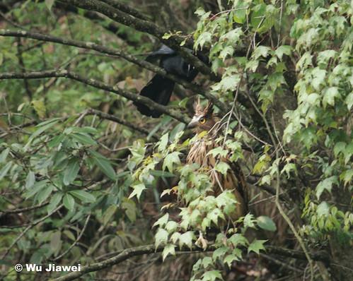 Strigformes: Famíla Strigidae- sub fam. Buteonidae. Género Ketupa (por vezes incluído em Bubo) 3268915469_d78434e931