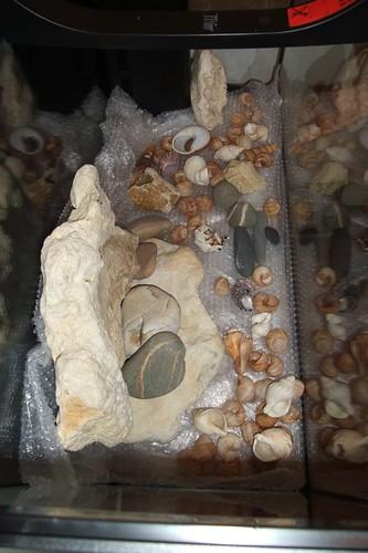 Tanganyika spécifique Neolamprologus multifasciatus 5747014259_a63b4d42d7