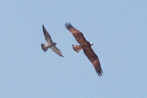 Falconiformes. sub Falconidae - sub fam Falconinae - gênero Falco - Página 2 5714547794_0dfa55375a