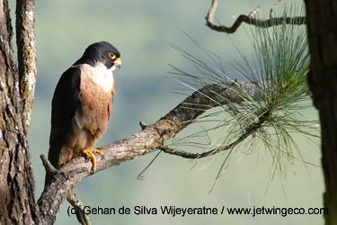 Falconiformes. sub Falconidae - sub fam Falconinae - gênero Falco - Página 3 4007015531_4b6e8c4989