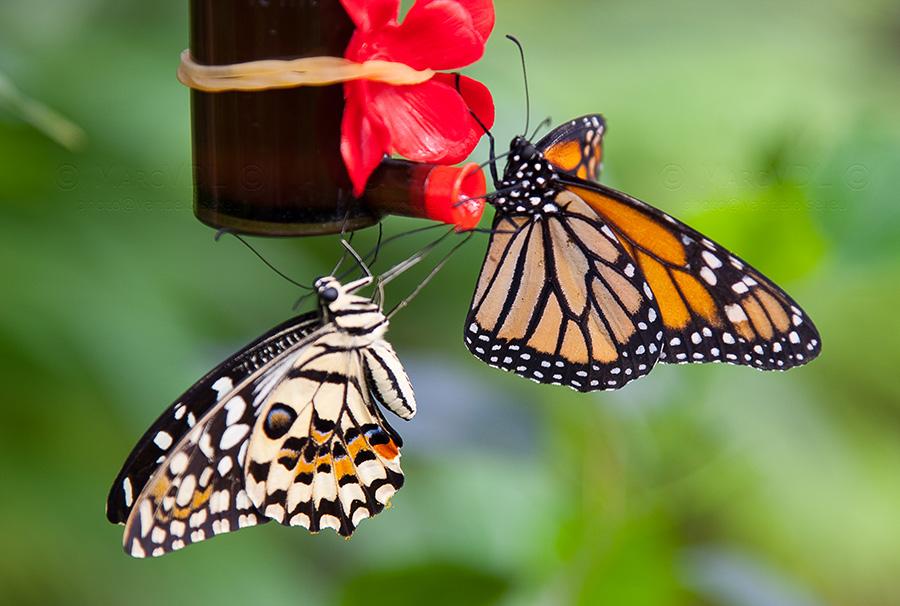 Sortie photo aux jardins des Papillons à Grevenmacher (L) 04 AVRIL 2009 - Les photos 3419403916_4142ca0aef_o