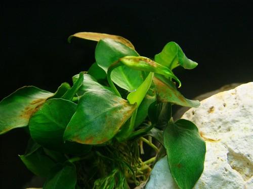 Tanganyika spécifique Neolamprologus multifasciatus 5768951780_1840764604